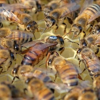 Пчеломатка Карника Nieska (Бакфаст) плодная