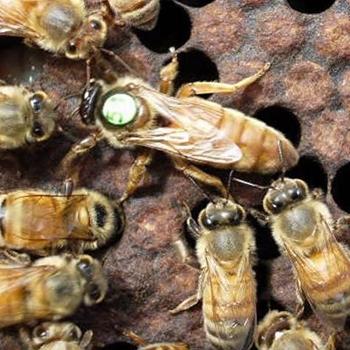 Пчеломатка Карника Troiseck (Бакфаст) неплодная