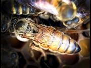Пчеломатка Бакфаст B35 плодные
