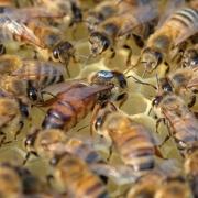 Пчеломатка Карника Nieska плодная